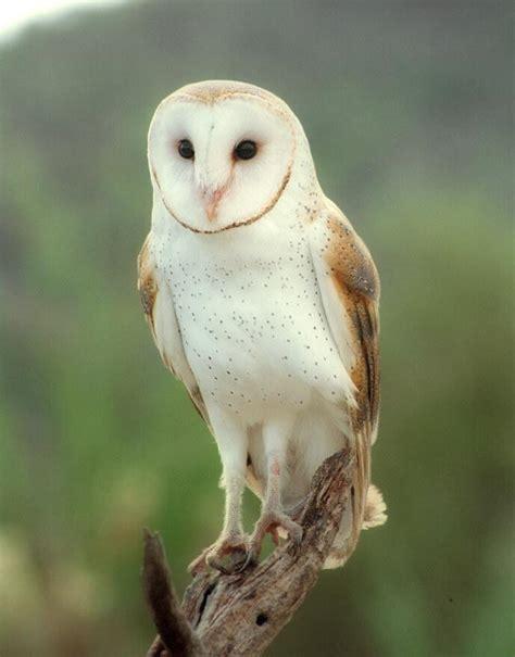 What Eats Barn Owls subject