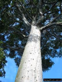Tall Cabinet Agathis Robusta South Queensland Kauri Tree