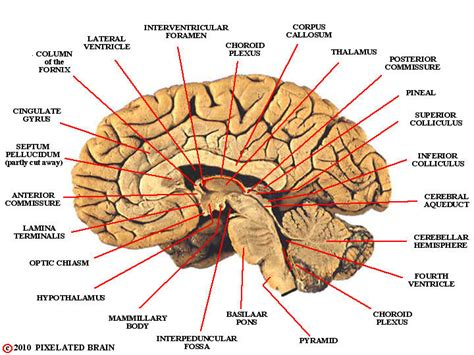 midsagittal section of the brain diagram pixelated brain landmarks midsagittal view cerebral