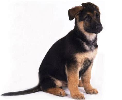 rottweiler cross alsation alsation puppies