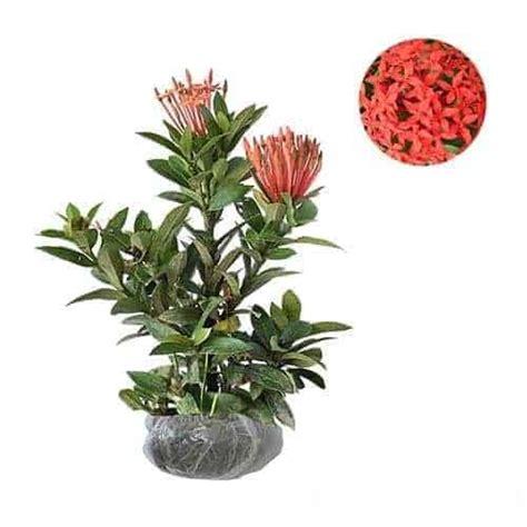 jual tanaman soka merah jepang red ixora bibit