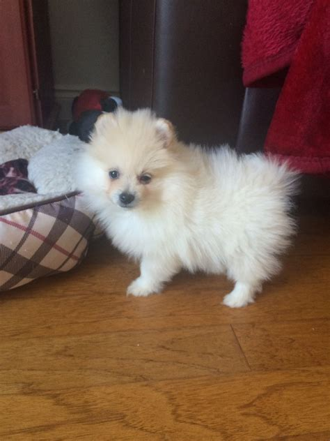 white pomeranian price lovely white pomeranian boy bargain price south east pets4homes
