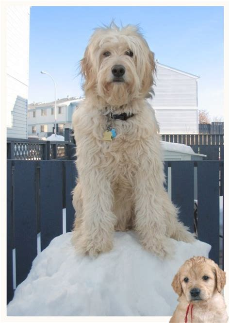 goldendoodle puppy growling dean s and s hearty k9s yesterday s goldendoodle pups