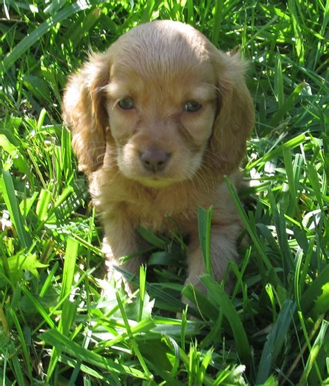 miniature golden retriever ontario mini goldendoodle puppies available golden retriever for sale breeds picture