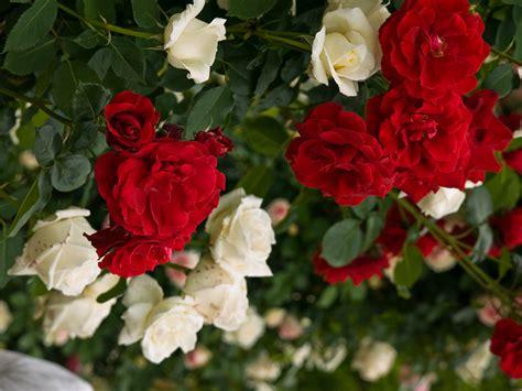 khoobsurat wallpaper flower 90 wedding red rose flower wallpapers love roses pictures