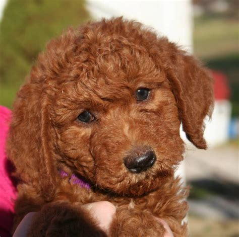 Goldendoodle Puppies For Sale In Ohio Www
