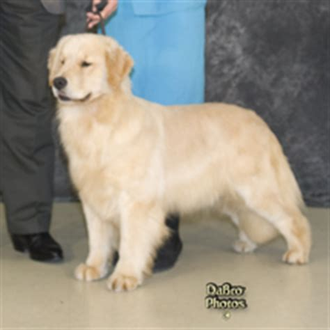 golden retriever akc standard breed standard legend golden retrievers akc breeder of merit michigan home of
