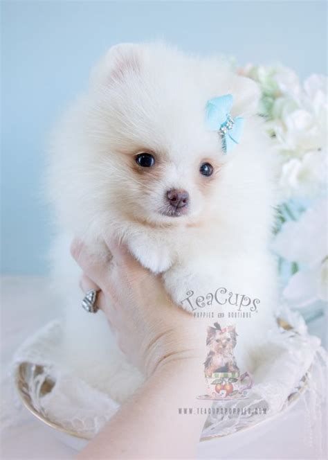 white pomeranian puppy for sale tiny teacup pomeranians and pomeranian puppies for sale by teacups teacups puppies