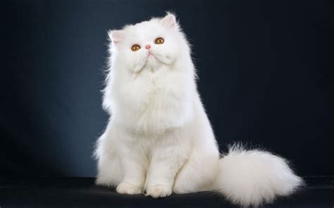 White Fluffy A Fluffy White Cat Looking Up Wallpapers And Images