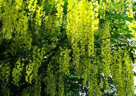 Garten Pflanzen Saurer Boden by Laburnum Anagyroides Goldregen Und Seine Verwendung Im
