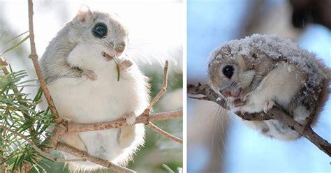 scoiattoli volanti gli scoiattoli volanti giapponesi e siberiani