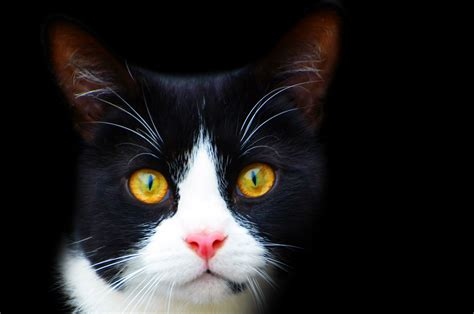 the white cat and black and white cat free stock photo public domain pictures