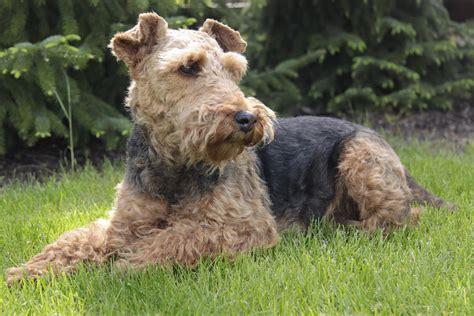 Filewelsh  Ee  Terrier Ee   Jpg