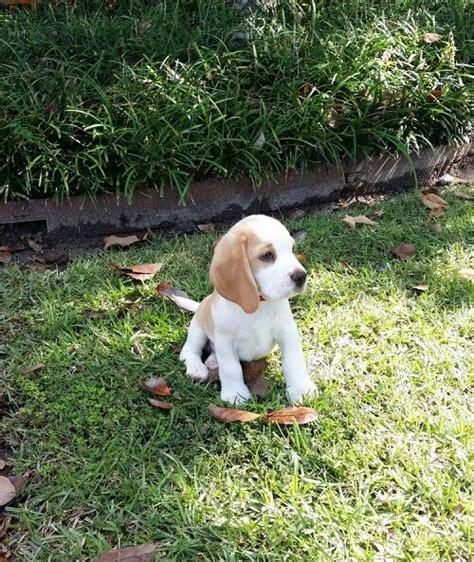 how much to feed a 12 week puppy 8 week beagle puppy diet bertylapps