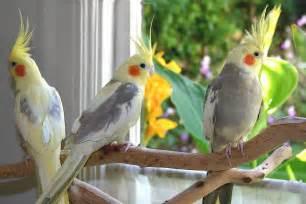 Hd cockatiel bird hd wallpaper download free 139730