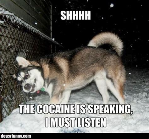 pug cocaine dogs r