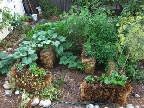 Straw Bale Garden Update Success Root Simple Straw Bale Vegetable Garden