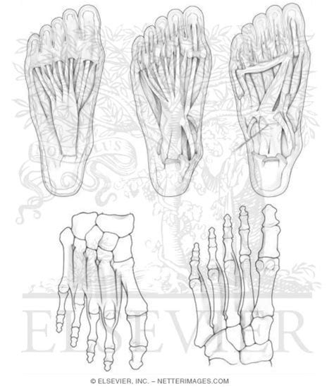 netter s anatomy coloring book 3 illustrations in anatomy coloring book hansen 1e