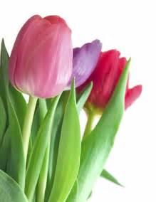 the tulip flowers flowers