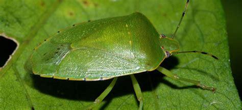 cimici dei letti come trovarle cimici dei letti verdi e marroni come eliminarle tutte