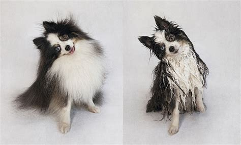 how to bathe a pomeranian puppy portraits of dogs before and after bath time