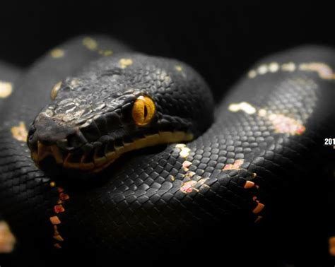 snake tattoo designes best hd wallpapers 25 best ideas about snake images on where do
