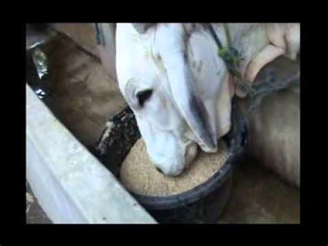 Toko Pakan Ikan Hias Jogja cara ternak sapi gendut penggemukan sapi dengan viterna plus