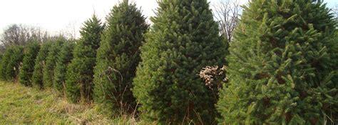 live evergreen trees blue ridge christmas tree farm