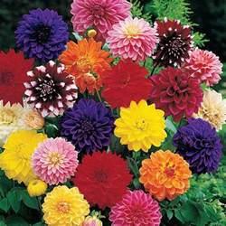 decorative dahlia mixture multicolored dahlias