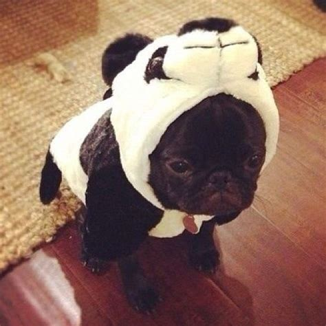 pug costume for baby pug in a panda costume