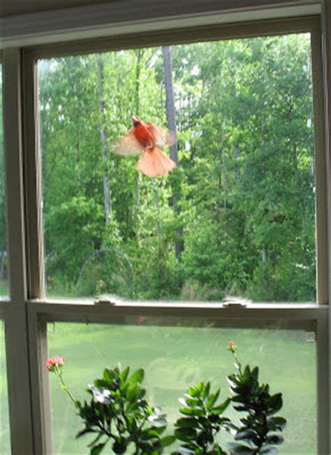 pohick cardinal attacking window