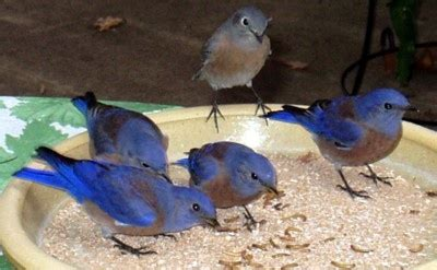 backyard bird watching insect eating birds will appreciate meal worms at backyard