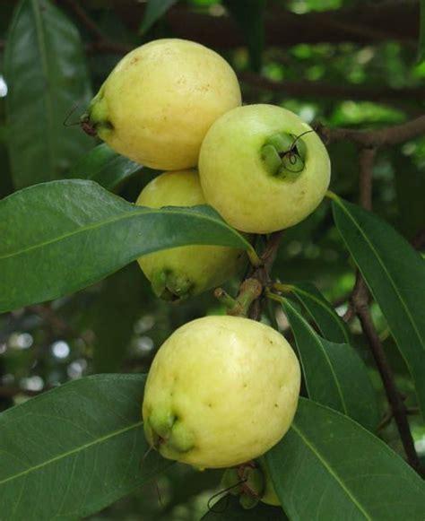 apple tree bandung rose apple syzygium jambos fruits pinterest apples