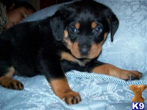 german rottweiler puppies for sale in uk german rottweiler puppies for sale 3560