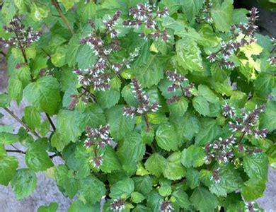 nursery plants patchouli patchouli plant patchouli