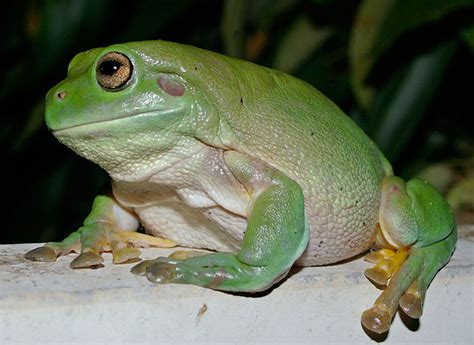 herp queries what is the best pet frog