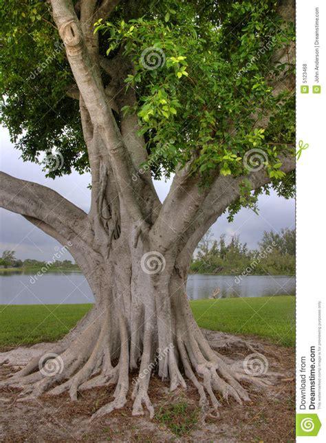 large banyan tree royalty  stock  image