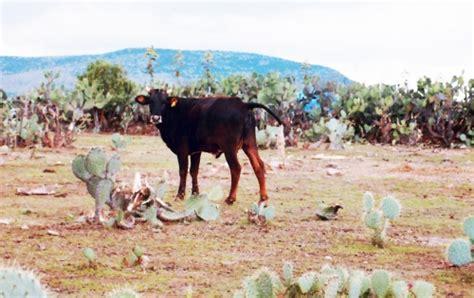 imagenes de vacas vaqueras imagen vacas vaqueras 2 grupos emagister com