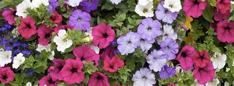 fiori petunie petunie trovami