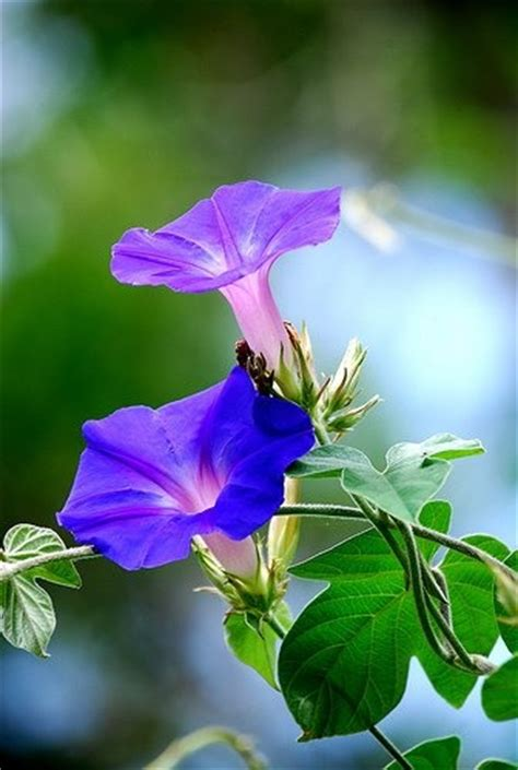 17 best images about morning glories on pinterest sun