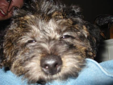 images of yorkie poo yorkie poo puppy pictures yorkie poo puppy0026 breeds picture