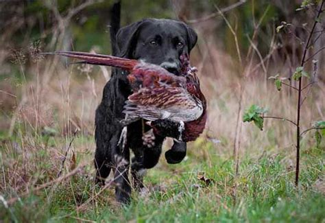 how to gun dogs 1000 ideas about gun on dogs and