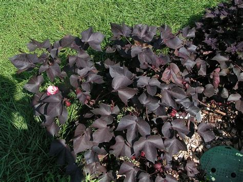 black cotton gossypium herbaceum nigra the goth garden