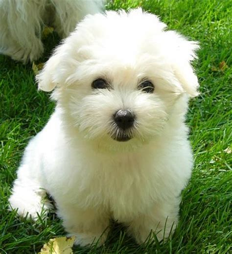 coton de tulear puppy francie the coton de tulear puppies daily puppy