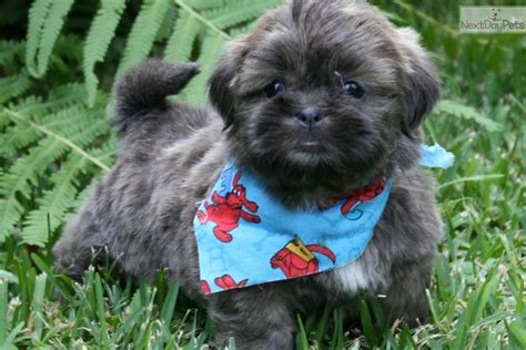 shih tzu blue blue shih tzu puppy baker blue shihtzu shih tzu puppy for sale near