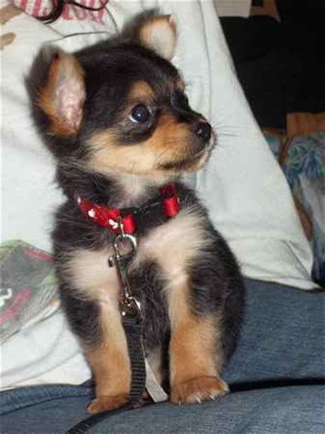 yorkie chihuahua mix grown chorkie yorkie chihuahua mix info temperament puppies pictures