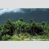 Mountain Gorilla Habitat   650 x 433 jpeg 83kB