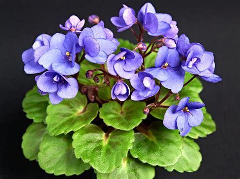 african violet african violet varieties hgtv