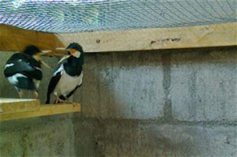 Cucak Jenggot Jawa Muda perbedaan jalak suren jantan dan betina burung kicau