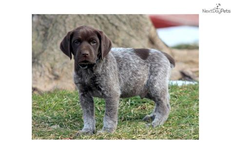 german shorthaired pointer puppies price german shorthaired pointer puppy for sale near lancaster pennsylvania c1713c2a e2a1